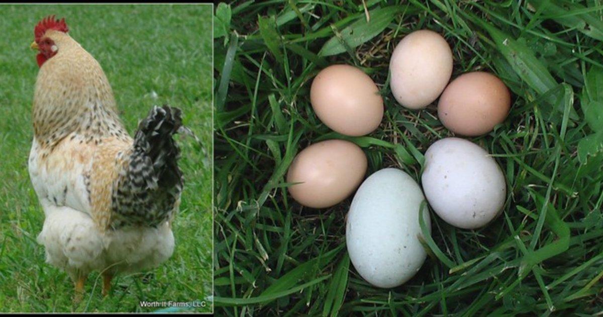Ancona Ducks   Worth It Farms